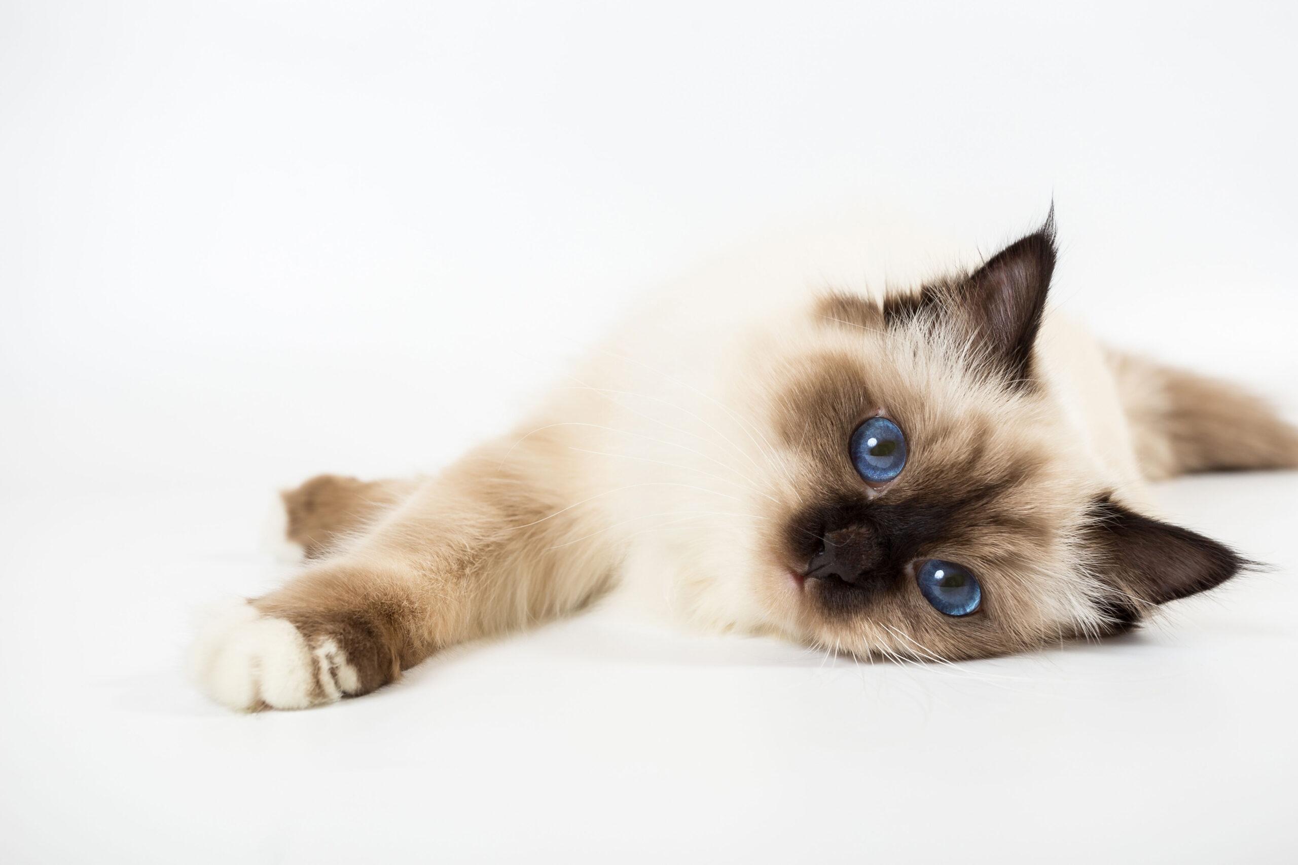 légendes chats