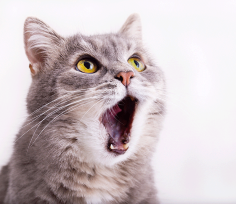 mauvaise haleine chat