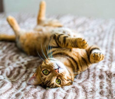 races de chats les plus chères
