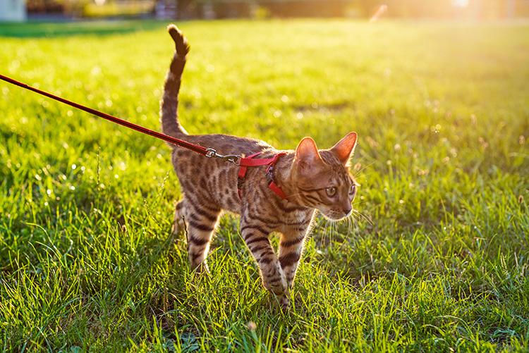 Promener un chat en laisse